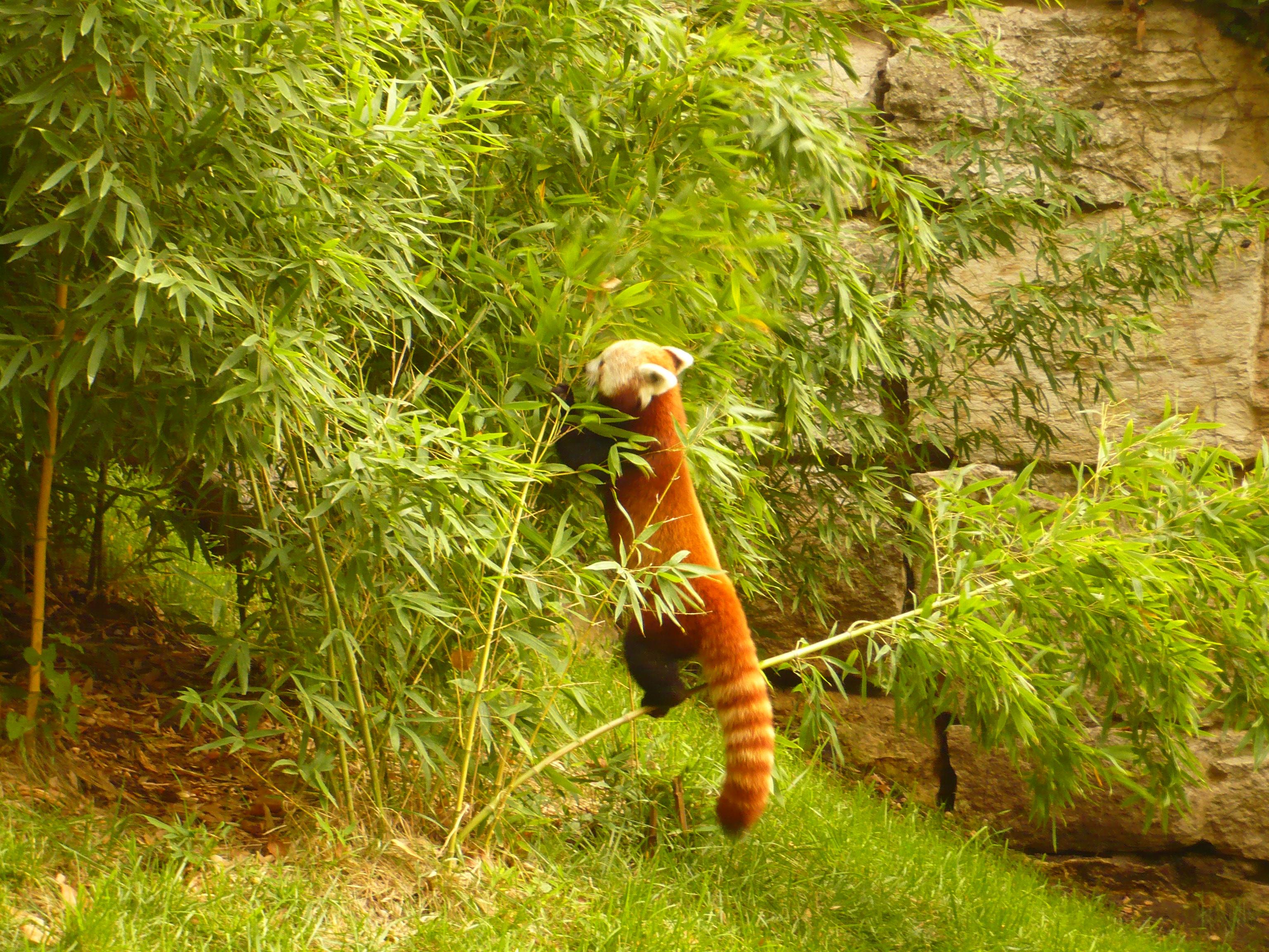 Panda Roux en train de bouffer du bambou