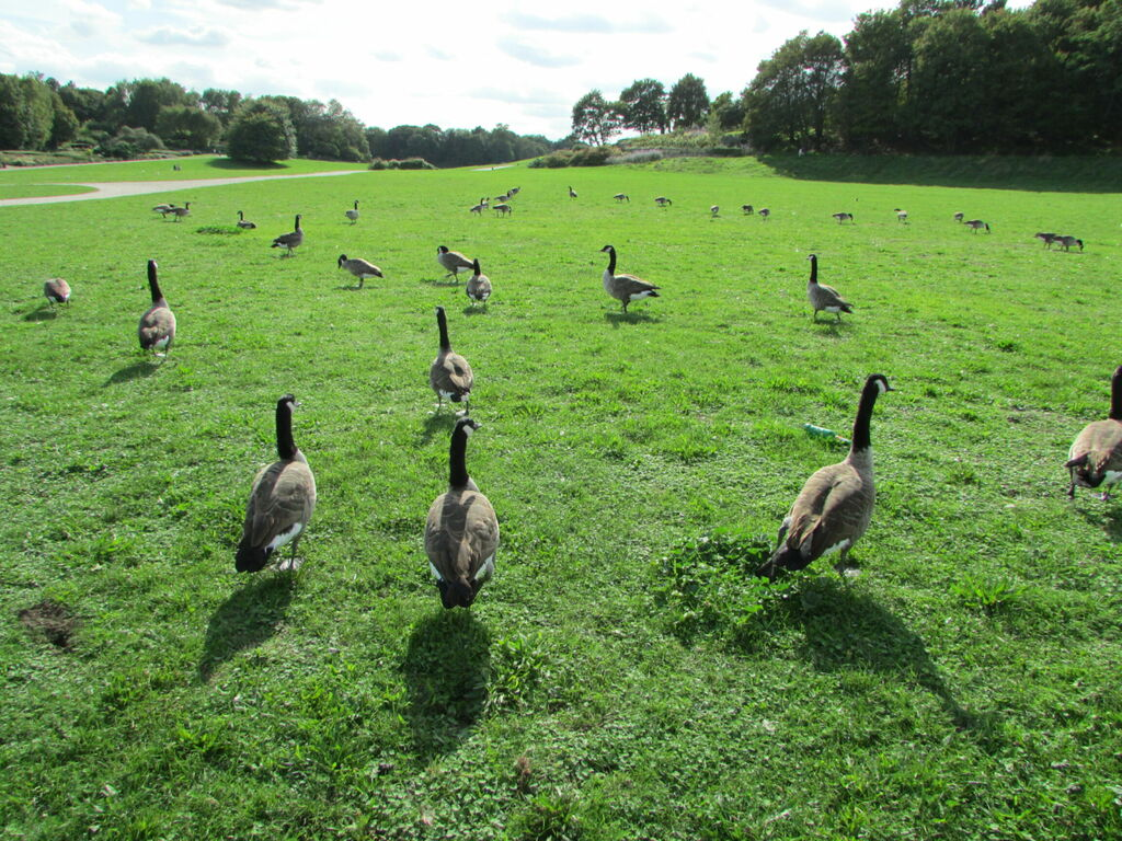 Bernaches sur herbe